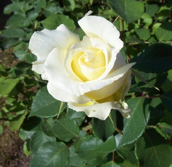 rose-jaune2.jpg