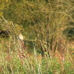 Biodiversite sur le site: Tarier des près