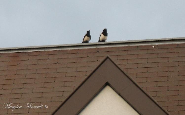 Pies sur le toit
