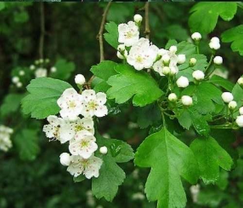 Vertus médicinales des plantes sauvages : Aubépine