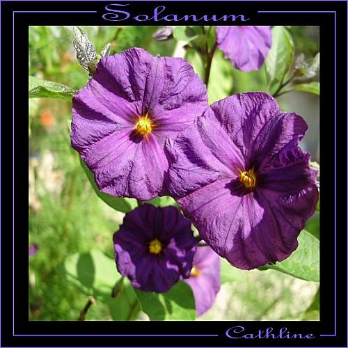 solanum--3-fleurs.jpg