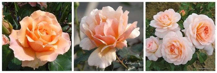 Les nouvelles roses de cet automne 2013 - Partie 3 : Le massif Pêche