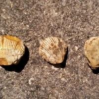 3 Coques fossilisées