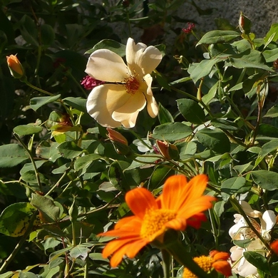 La rose et le tithonia...