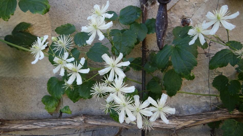Clématite : Clematis fargesii Summersnow