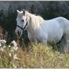 Cheval blanc 2.jpg