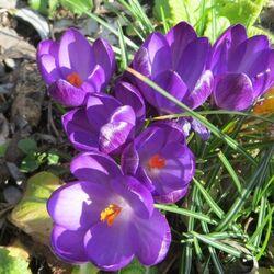 Promesse de Fleurs, les bulbes