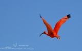 Ibis rouge - p 175