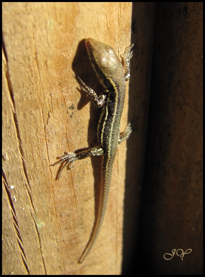 Lézards.