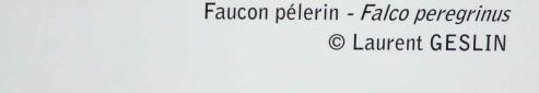 legende-faucon-pelerin-1777.jpg