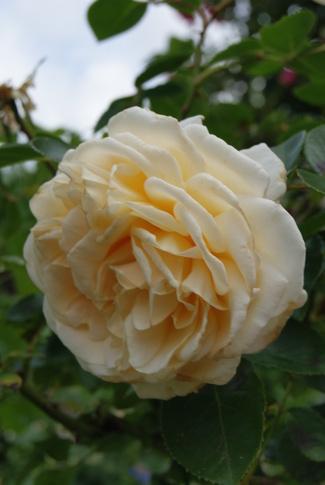 Rosier tige ' Covent garden ' d'Harkness