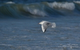 Mouette rieuse - p338