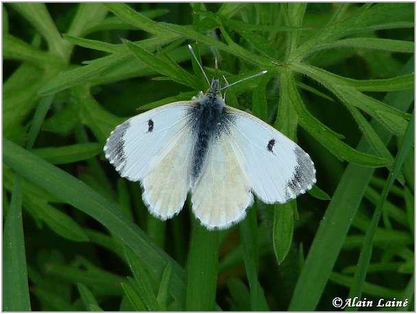 Papillon_Av08_3