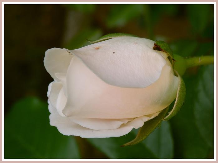 Fleurs d'été diverses.Volet .Magnolia.