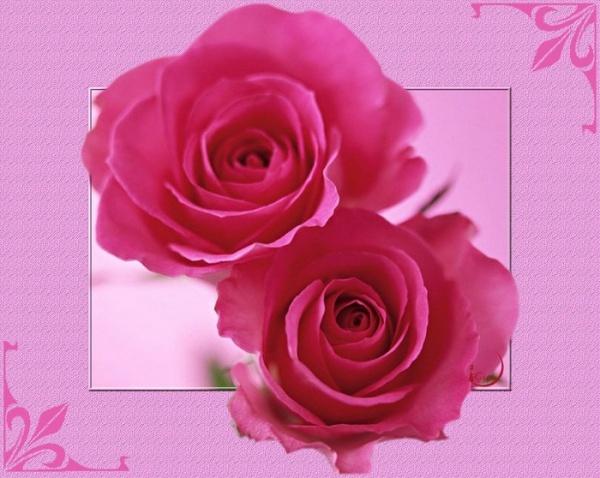 fond ecran roses