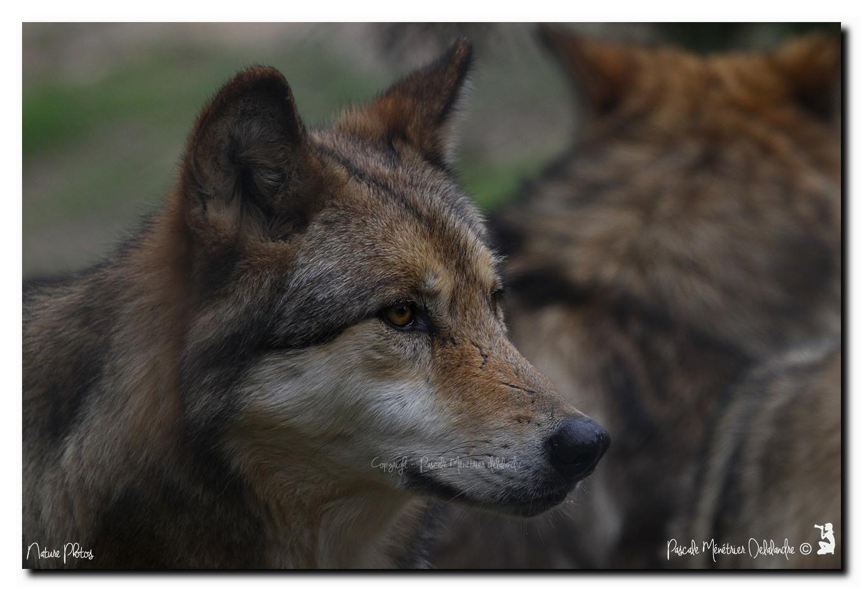 Portraits de Loups de Sibérie (Canis lupus albus)