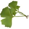 ginkgo-feuillesverte.jpg
