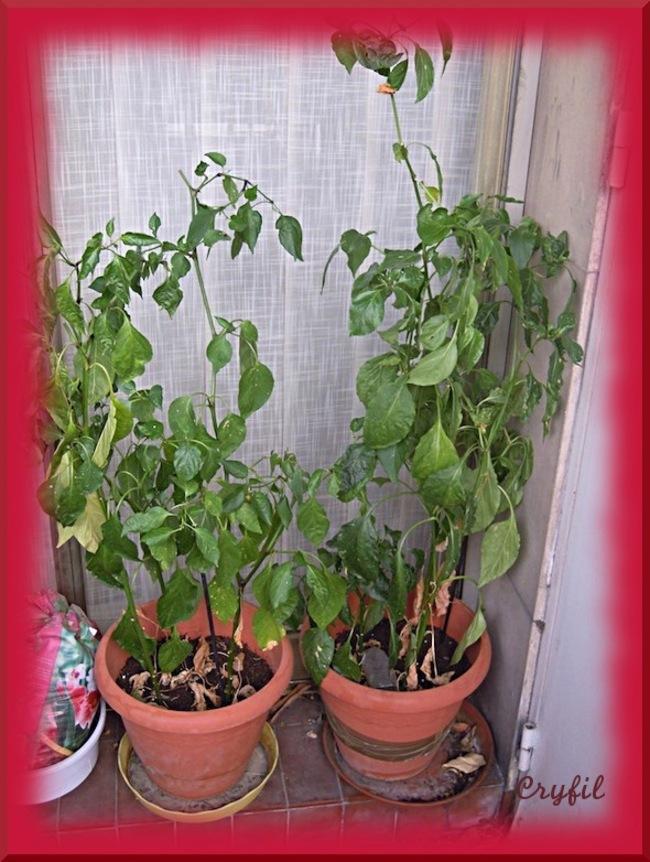 Ma récolte de piments