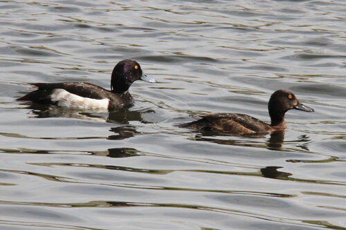 Fuligule Morillon (Tufted Duck)