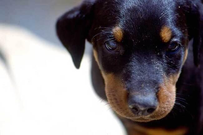 Races de chiens:  Doberman
