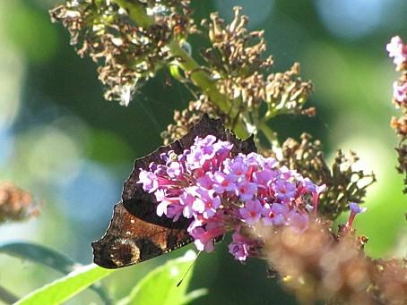 les-papillons-6417.JPG
