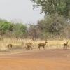 Bénin Parc de la Pendjari des cobs