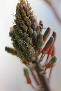 Macrosiphum Rosae ou Puceron vert