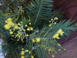 Mimosa breton