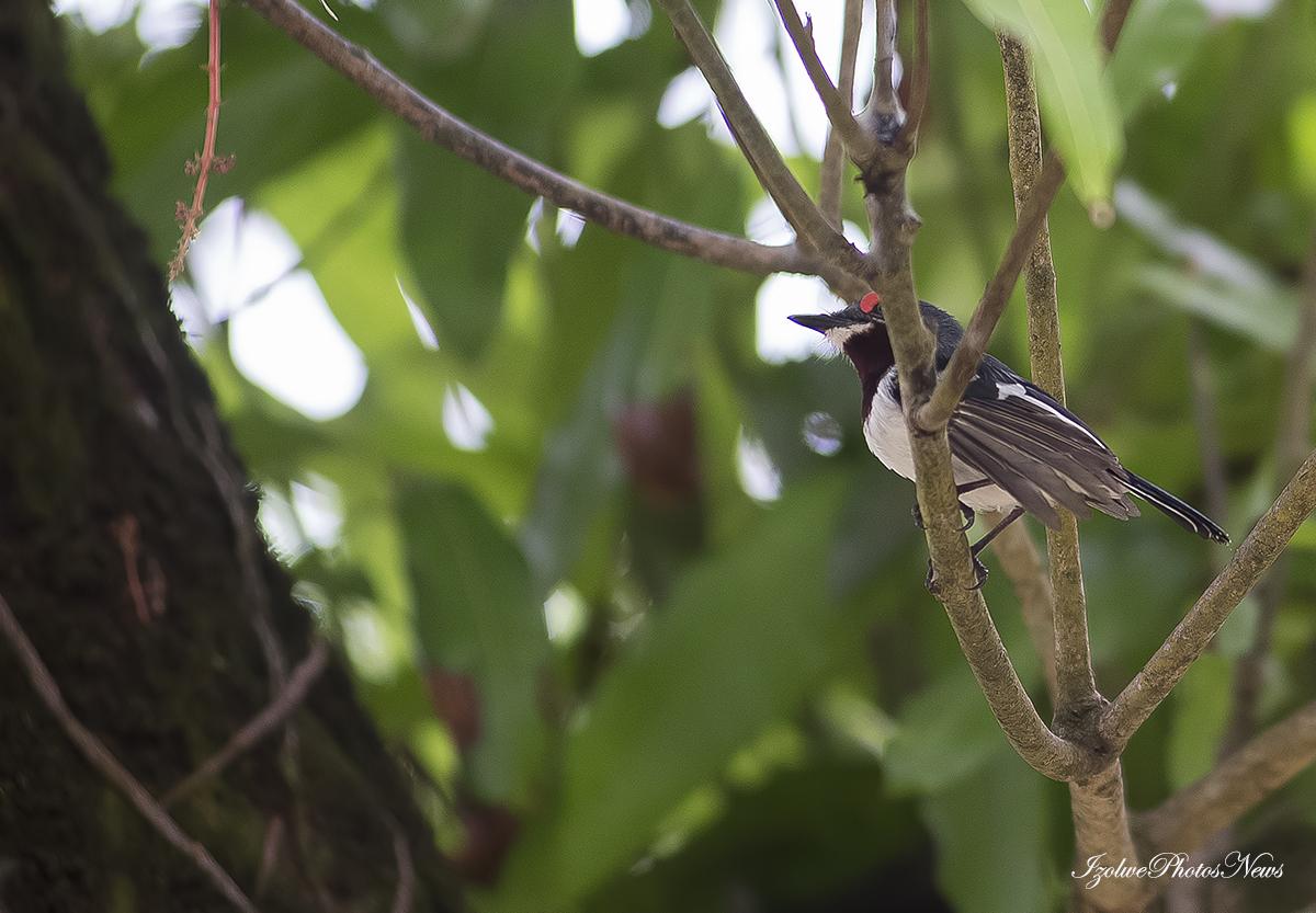 Dans le manguier