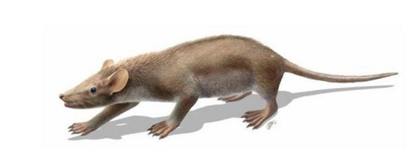 Reconstitution de Spinolestes xenarthrosus basée sur le fossile exceptionnellement bien préservé découvert à Las Hoyas. L'animal mesurait environ 25 cm. © O. Sanisidro