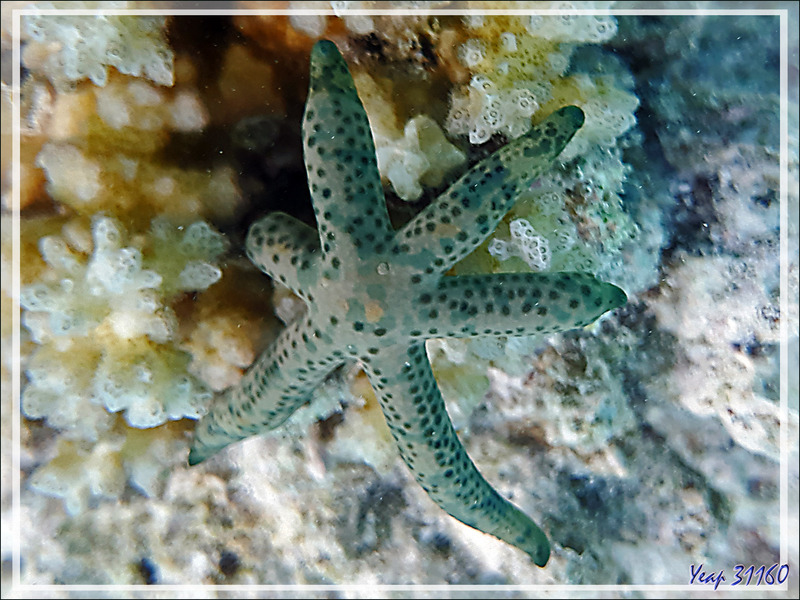 Etoile Comète de mer, Dalmatian linckia starfish (Linckia multifora), spécimen à 6 branches - Snorkeling à Moofushi - Atoll d'Ari - Maldives