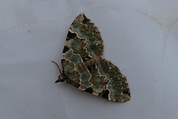 Colostygia-pectinataria---Geometridae-Larentiinae-Cidariini.jpg