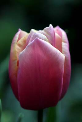 Tulipes 2014 : Holland Beauty