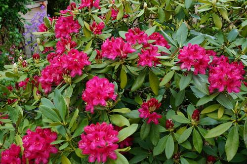 J'aime bien les rhododendrons
