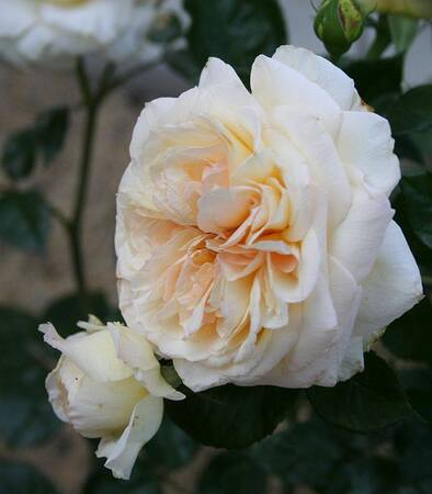 Les Roses de Warren : Sweet as Honey