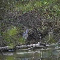 Héron gris cendré