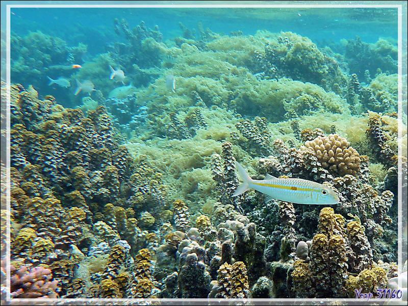 Où on voit bien l'invasion des algues Clathrus d'eau et Turbinaires (algues à triangles), Rouget à bande jaune (Mulloidichthys flavoline) - Jardin de corail - Motu Tautau - Tahaa - Polynésie française