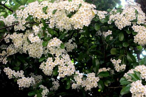 Les petites fleurs blanches du pyracantha