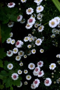 Aster Pink Buttons