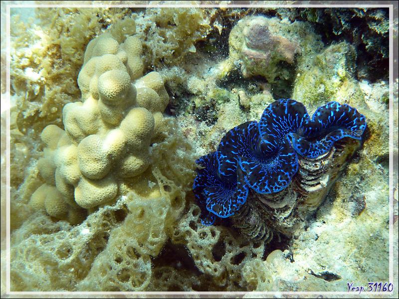 Bénitier commun, Common giant clam (Tridacna maxima) - Jardin de Corail - Motu Tautau - Taha'a - Polynésie française