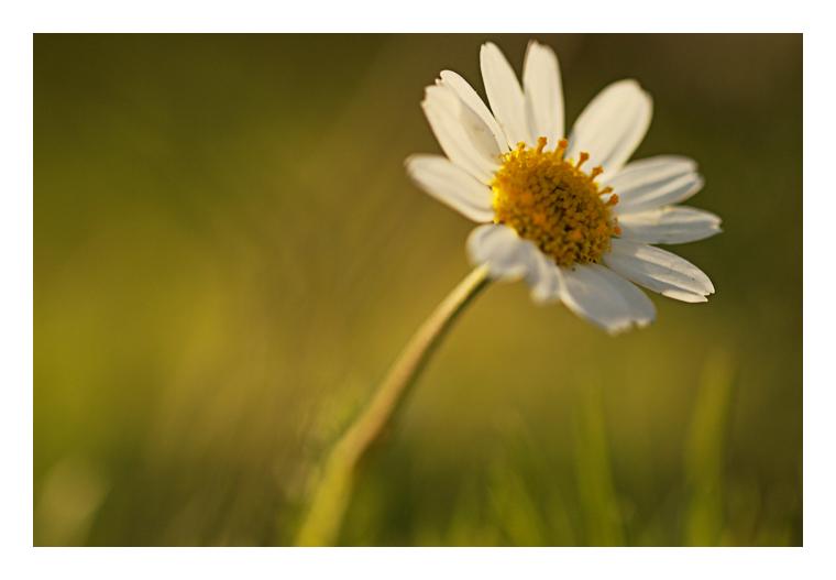 Marguerite au soleil couchant