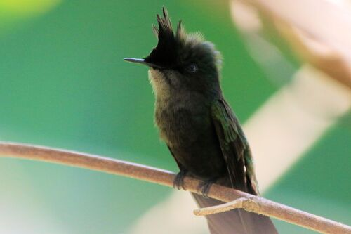 Colibri Huppé (Antillean Crested Hummingbird)