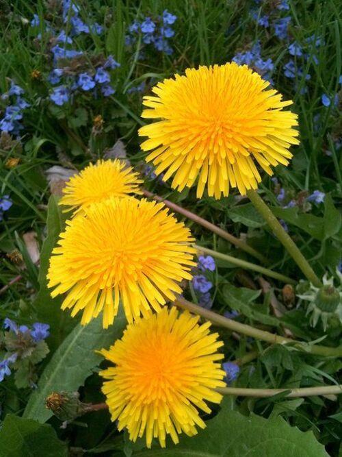 Fleurs Pissenlits