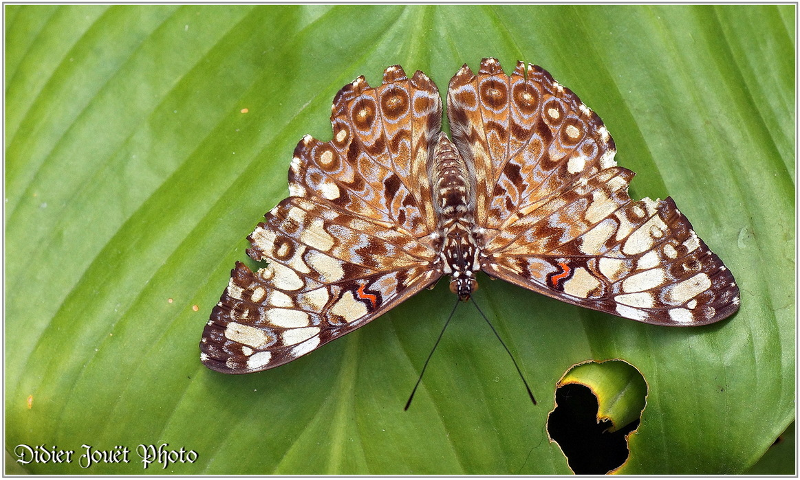 Craqueur Variable / Hamadryas feronia