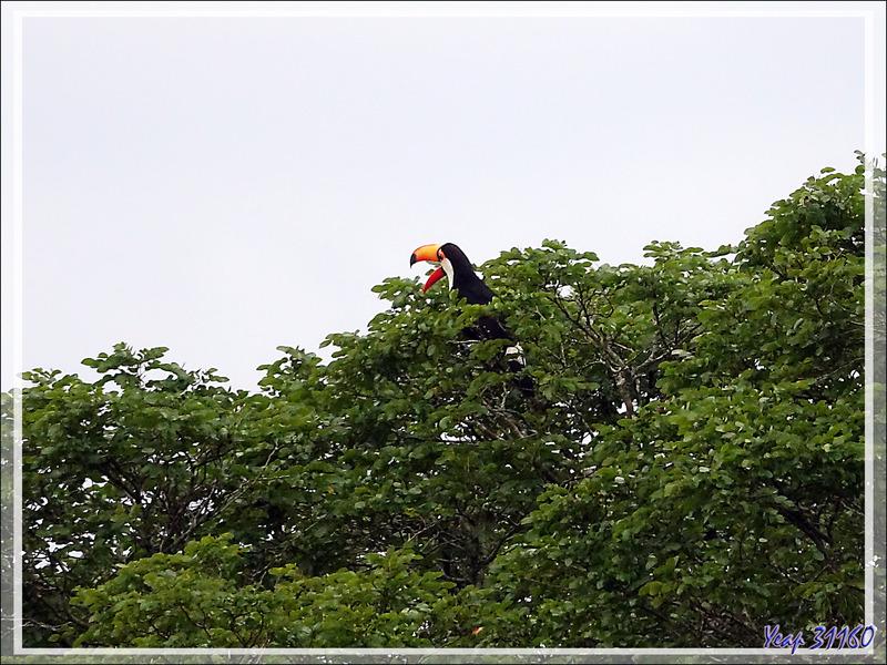 Toucan toco, Toco toucan, Tucán grande (Ramphastos toco) -  Puerto Iguazu - Argentine