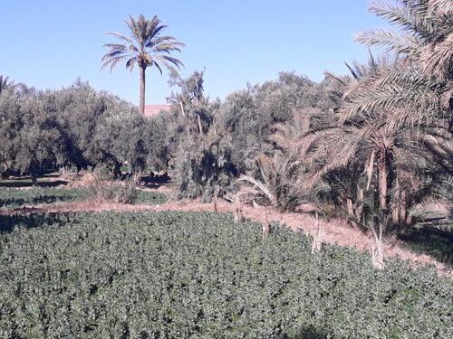 Dans le palmeraie