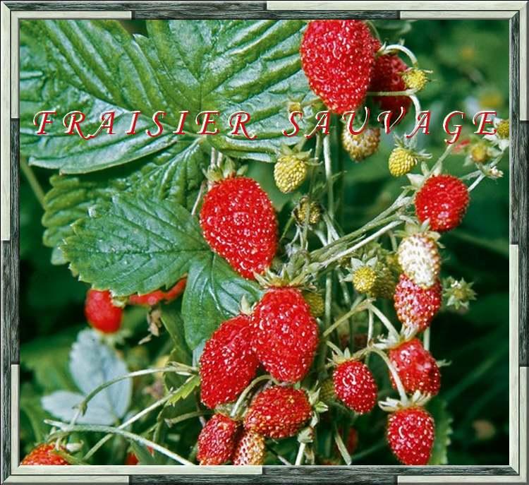 Vertus médicinales des plantes sauvages : Fraisier sauvage