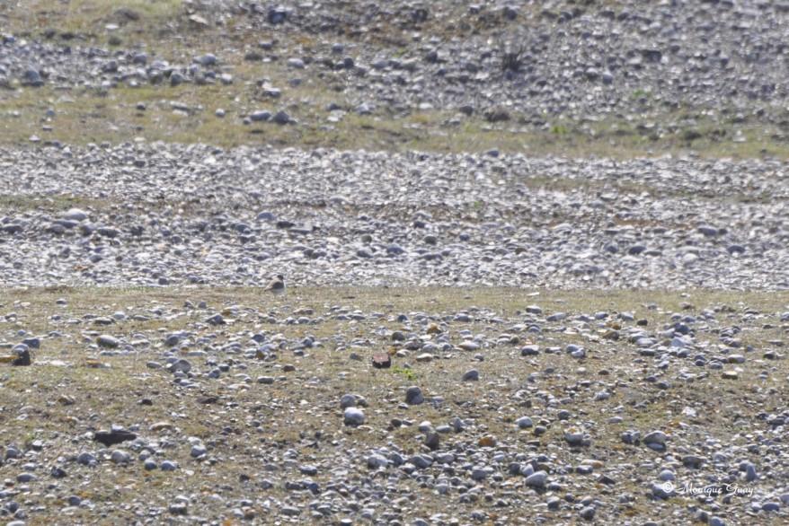 gravelot-6311.jpg