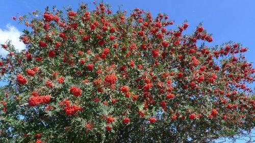 Vertus médicinales des arbres : Sorbier des oiseleurs