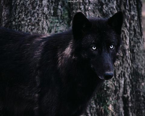 Belles images de loups.